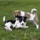 11-healthiest-medium-and-large-dogs