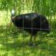 A large flightless bird, July 2008