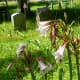 Blooming Lilies in Hodge's Bend Cemetery
