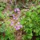 Oxalis wildflowers