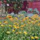 Pot Marigolds in organic garden