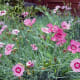 Pinks Dianthus plumarius