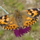 A Painted Lady Butterfly, resting on a flower after being released in our back yard.