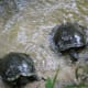 These 2 males race for the bread. Old turtle is in the lead...