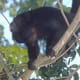 Amazonia area Howler Monkey from meskerparkzoo.com