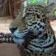 Amazonia area Jaguar from meskerparkzoo.com