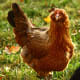 the-chicken-whisperer-recommends-back-yard-chicken-keeping