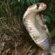 Snakes are definitely worth avoiding while you are trapped in the jungle. This is specifically true if you are up against a venomous one. Do not even think of making a meal out of it if you don't have any experience in killing one. Its just too risky