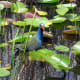 Purple Gallinule Bird in the Everglades.