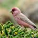 Great Rosefinch male (Carpodacus severtzovi) from Kibber, Himachal Pradesh