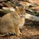 Wild Junglecat
