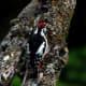 Himalayan Woodpecker Dendrocopos himalayensis in Kullu