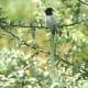 Asian Paradise Flycatcher Terpsiphone paradisi in Kullu