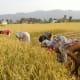 rice-farming-in-nepal