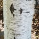 weeping-birch-trees
