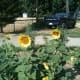 Black oil sunflowers in the chicken garden.