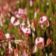 """cranberry flowers, resemble the neck, head and bill of a crane. Hence the name cranberry is derived from """"craneberry"""", the berry being so named first by the early European settlers in America."""