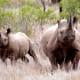 Two black rhinos in Mkhuze Africa