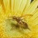 Papaya Fruit Fly mimicking a moth