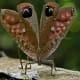 Fake eyes resembling a predator in Pterochroza Ocellata