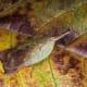 yellow brown mantis - mimesis