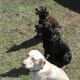 The three basic Labrador Retriever colors