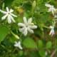Jasmine or Rongal Flower