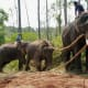 Pet Working Indian Elephants