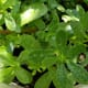 Lively green leaves are succulent and oblong to obovate in shape.