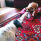 Tug of war Jack Russell vs. Rat Terrier - both joined our pack from the Shelter.