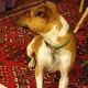 Pretty pose of a Rattie in Profile