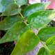 night jasmine leaves