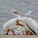 A flock of American White Pelicans at Archbishop Joseph Fiorenza Park