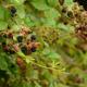Beetles and Berries, Vines Intertwine