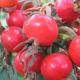 It's easy to see why they are called Beach Tomatoes when looking at this picture.
