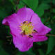 "R. rugosa roses are usually ""singles"" having one row of five petals."