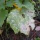 Powdery mildew of cucurbits