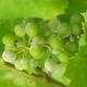 Powdery mildew of grape