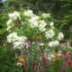 White Mussaenda or Dona Aurora and Bougainvillea