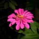 3 layers pink Zinnia