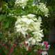 White Mussaenda or Dona Aurora, Bougainvillea and Zinnia