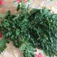 Moringa Oleifera / Malunggay / Miracle Tree leaves