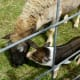 Sheep getting kissed by a pig at Creekfest