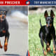Doberman Pinscher Vs Manchester Toy Terrier
