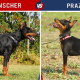 Doberman vs Prazsky Krysarik OR Doberman vs Prague Ratter