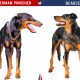 Doberman Vs Beauceron