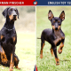 Doberman Pinscher Vs English Toy Terrier