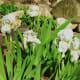 4/20/12 White Iris