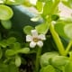 Flowers of bacopa monniere has four to five petals.