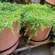 Bacopa monniere in pots. My uncle's backyard garden.